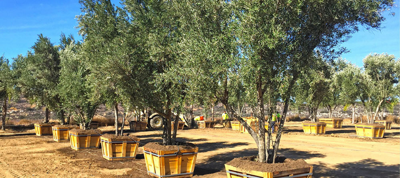 Located In Beautiful Wine Country Our 100 Acre Farm North Of Temecula Southern California Is Home To Over 25 000 Premium Olive Trees