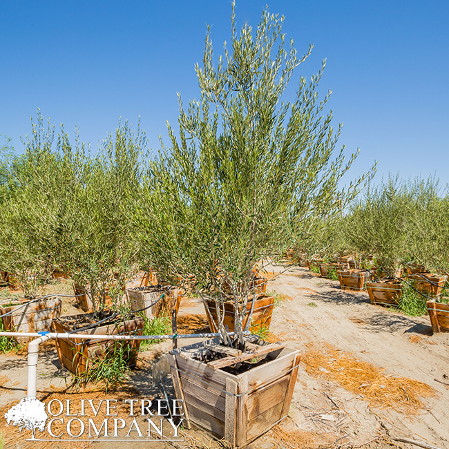 Home The Olive Tree Company